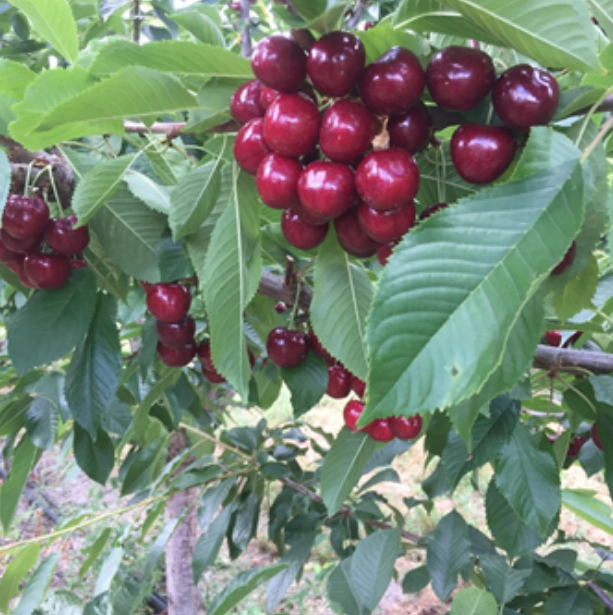 Cherry Season in Washington